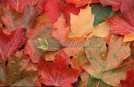 farbige ahornblatter neuengland usa