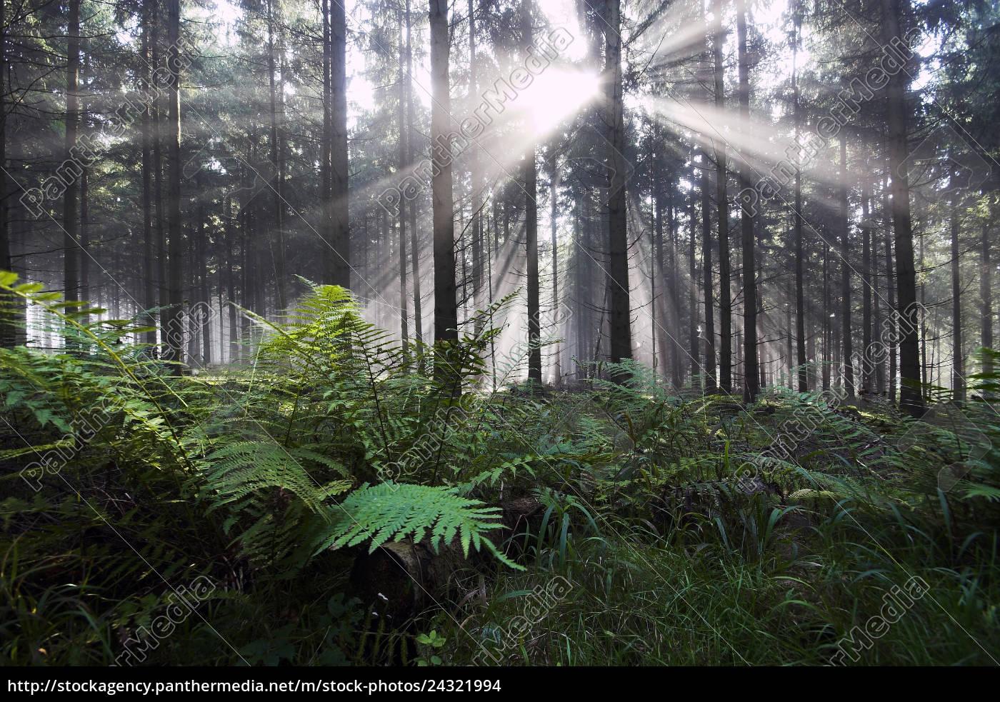 farn, in, tannenwald, im, gegenlicht - 24321994