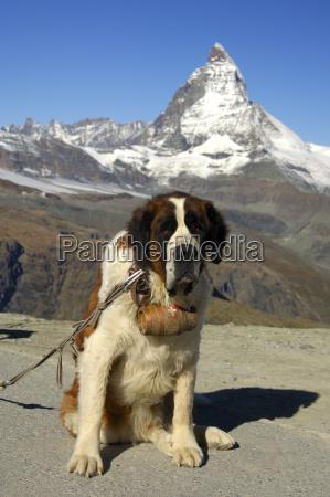 bernardiner hund und matterhorn gornergrat