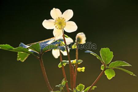 schneerose oder christrose helleborus niger im