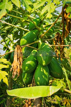 papayabaum mit frucht