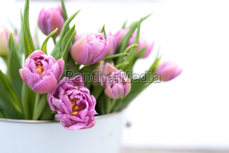 tender pink tulips for mothers day