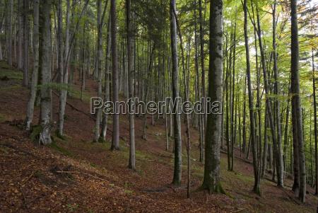 buchenwald fagus in the vomperloch karwendel