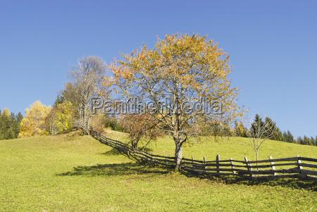 cherry tree prunus avium in autumn
