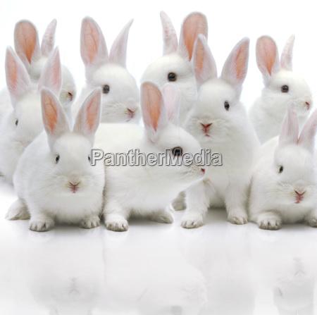 mehrere weisse kaninchen