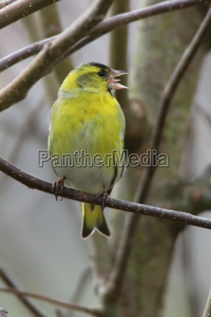 siskin with open beak in the