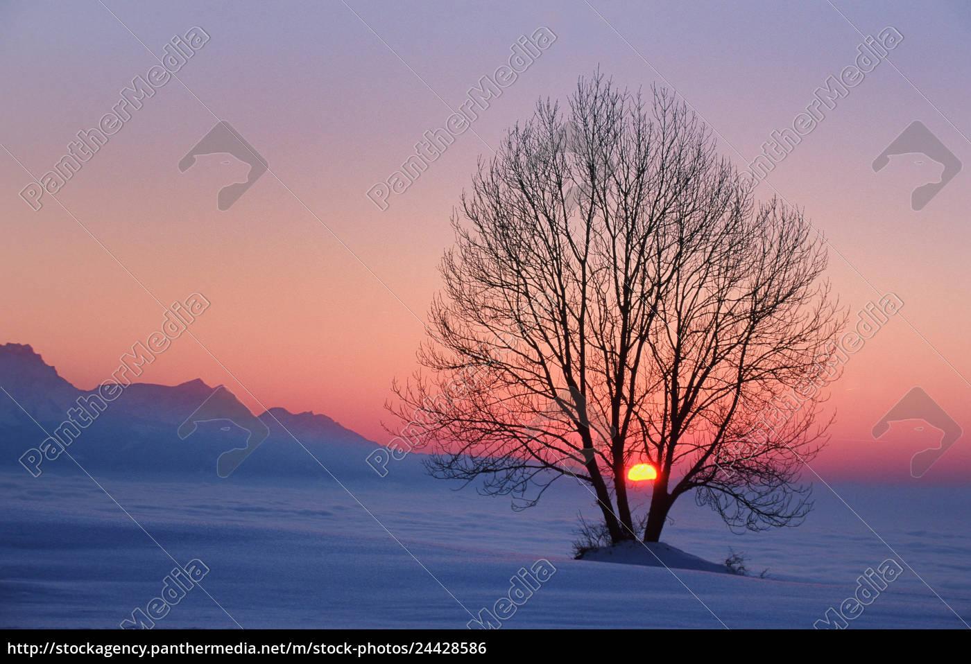 baumsilhouette, im, sonnenuntergang, vom, zugerberg, mit - 24428586