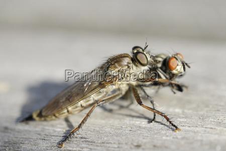 raubfliege neomochtherus geniculatus hat eine hausfliege