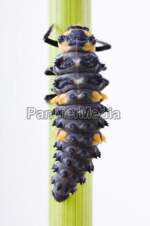 larve von einem siebenpunkt marienkafer coccinella