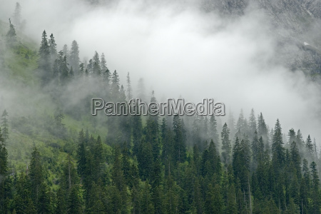 coniferous forest in the fog eng