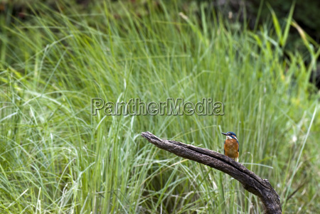 kingfisher alcedo atthis on a branch