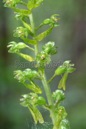 grosses zweiblatt listera ovata vomper