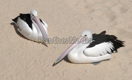 spectacled pelicans pelecanus conspicillatus resting on