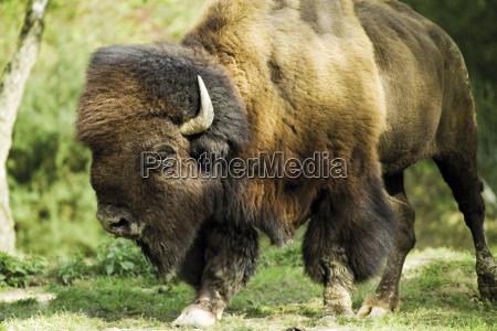 animal mammal fauna animals horn lateral
