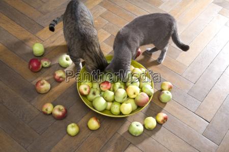 schale mit bioapfeln und zwei katzen
