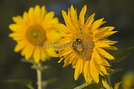 sonnenblumen helianthus annuus deutschland
