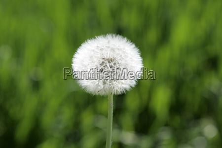 nahaufnahme einer verbluhten lowenzahnblume taraxacum officinale