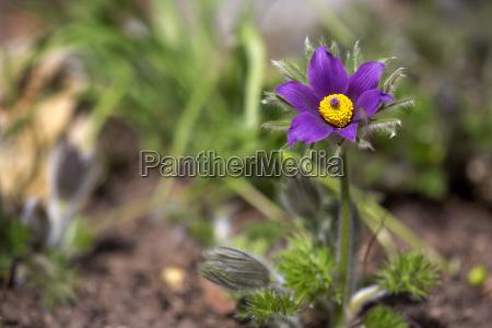 pulsatilla vulgaris pasque flower in the