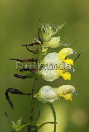 grosser klappertopf rhinanthus angustifolius rhianthus