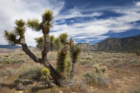 josua palmlilie josuabaum yucca brevifolia