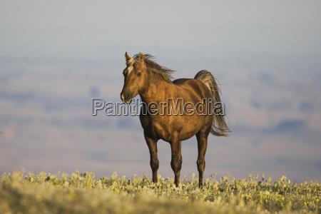 american horse animal mammal fauna wild