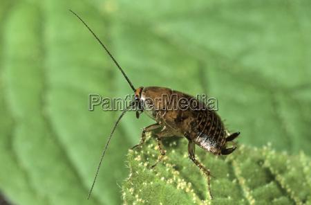 waldschabe ectobius sylvestris larve