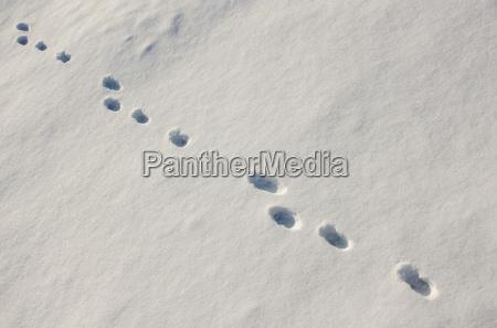 fahrte im schnee feldhase lepus