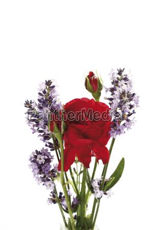 rote rose und lavendel