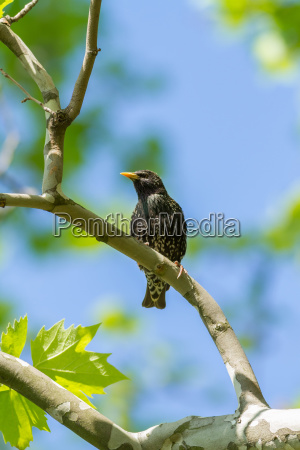 beautiful starling on the branch in