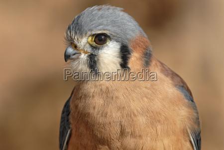 buntfalke american kestrel falco sparverius