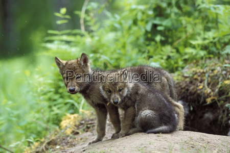 wolf canis lupus welpen am