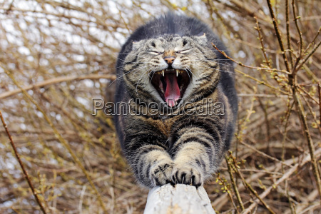 a cat stretches and yawns with