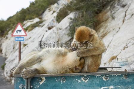 paar der barbary macaque affen von