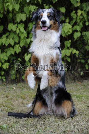 australian shepherd dog blue merle makes