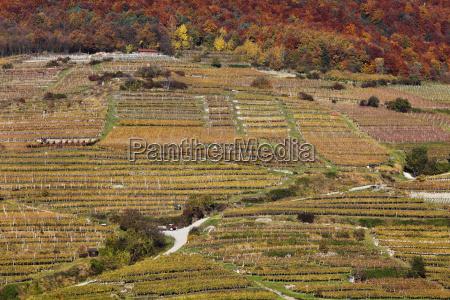 vineyardsspitzwachauwaldviertelniederosterreichaustriaeurope