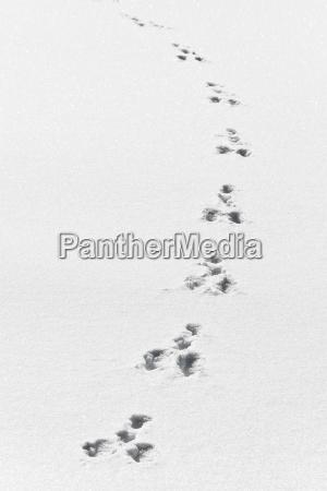 hasenspuren im frisch gefallenen schnee