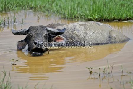 asian water buffalo bubalus arnee domestic