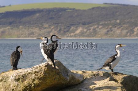 australian minions phalacrocorax melanoleucos kangaroo island
