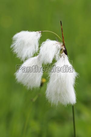 scheuchzers wollgras eriophorum scheuchzeri mala