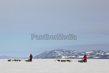 two mushers walk alongside dogsled dogsledding