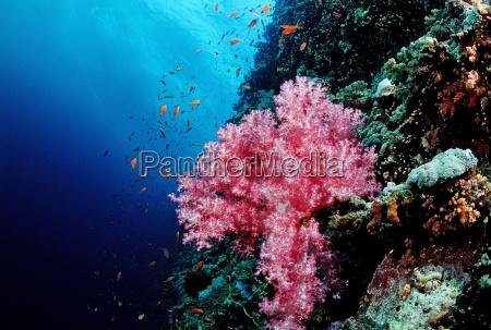 korallenriff mit weichkorallen rotes meer