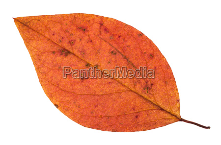 fallen autumn red leaf of apple