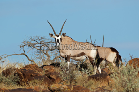 gemsbok antelopes in natural habitat