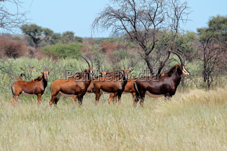 sable antelopes in natural habitat