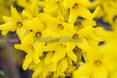 flowering forsythia forsythia