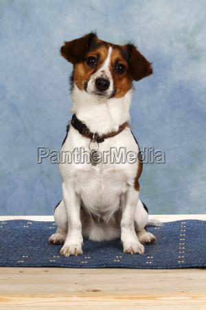 jack russel terrier mischling sitzend