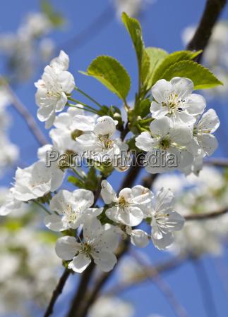 cherry blossoms prunus sp mostviertel niederosterreich
