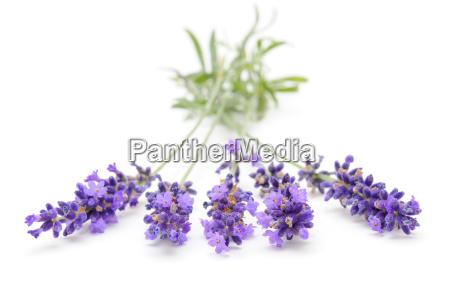 lavendel lavandula angustifolia