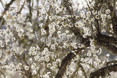 almond blood flowering almond tree prunus