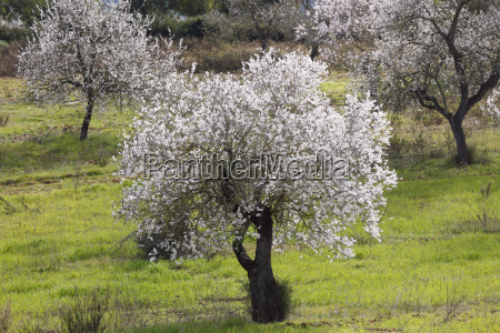 almond blossom flowering almond tree prunus